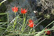 Israel, Tulipa agenensis Mountain Tulip