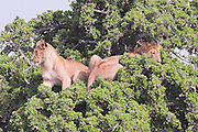 Kenya, Masai Mara, Lions on look out on a tree