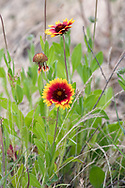 A Blanketflower plant (Gaillardia aristata) blossoming at Blackie Spit, near Crescent Beach in Surrey, British Columbia, Canada.  This part of Blackie Spit used to be farmland, and still has some domestic plants species growing there.