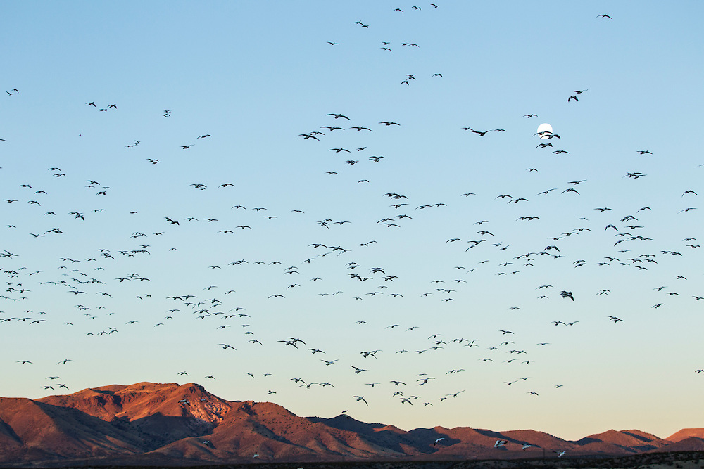 USA, New Mexico, Bosque del Apache National Wildlife Refuge, Flock of Snow Geese (Chenhyperborea hyperborea) flying above Rio Grande Valley at dawn