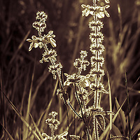 These sunlit, illuminated, sparkling wild flowers were photographed in Horicon Marsh.  The Horicon Marsh is located in southeastern Wisconsin.