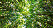Bamboo Forest, Pipiwai Trail, Hakeakala National Park, Kipahulu, Hana Road, Maui, Hawaii