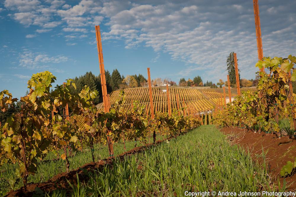 Saffon vineyards, Yamhill-Carlton AVA, Willamette Valley, Oregon
