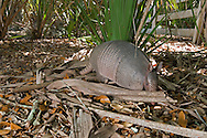 Nine-banded Armadillo, The Legacy Club's trip to Little St. Simon's Island, Georgia, 2013.
