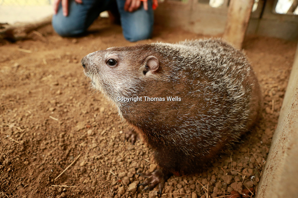 "Thomas Wells | BUY AT PHOTOS.DJOURNAL.COM<br /> Tupelo Buffalo Park's groundhog ""Mr. Digger"" comes out of his home and didn't see his shadow on Tuesday which means there will be an early spring."
