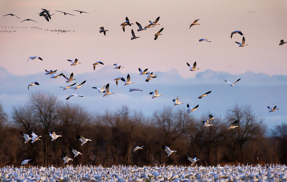 Snow Geese, December Landing on the Eastern Shore of Maryland.