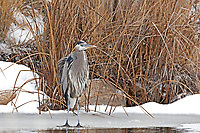 A Great Blue Heron fishes along the bank of a marsh pond at the Bear River Migratory Bird Refuge in northern Utah.