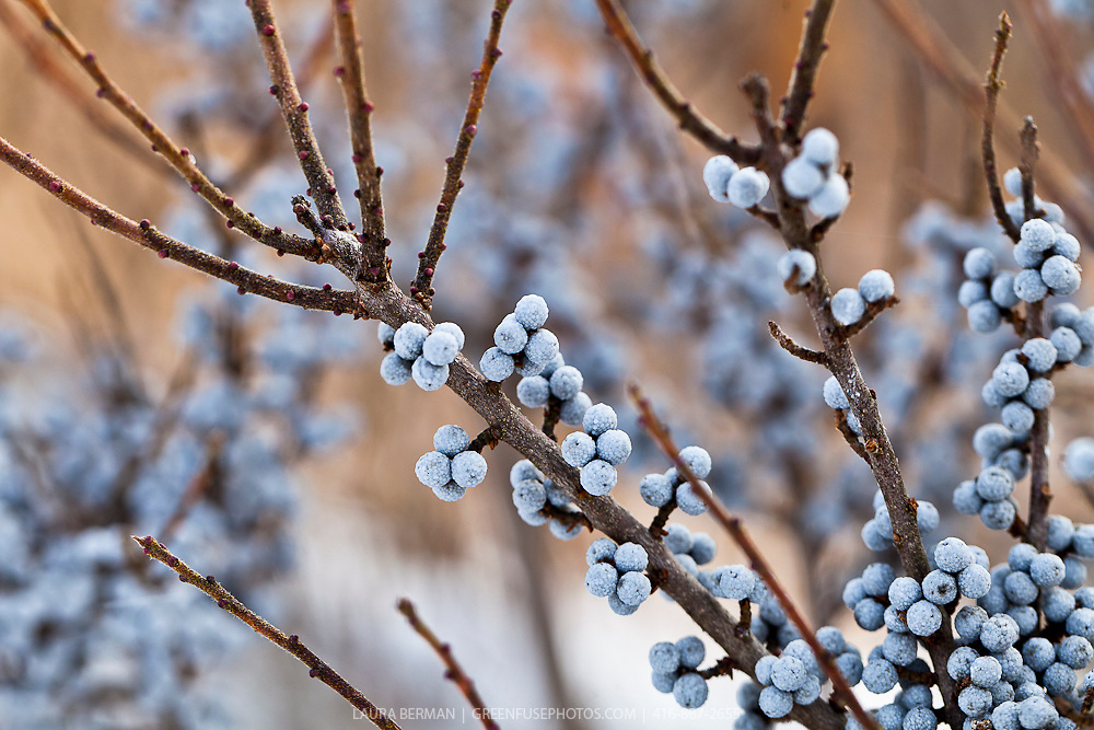The blue berries of the bayberry bush in winter (Myrica pensylvanica)