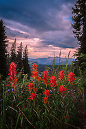 A photo of some Indian Paintbrushes taken in the Colorado Mountains.<br />