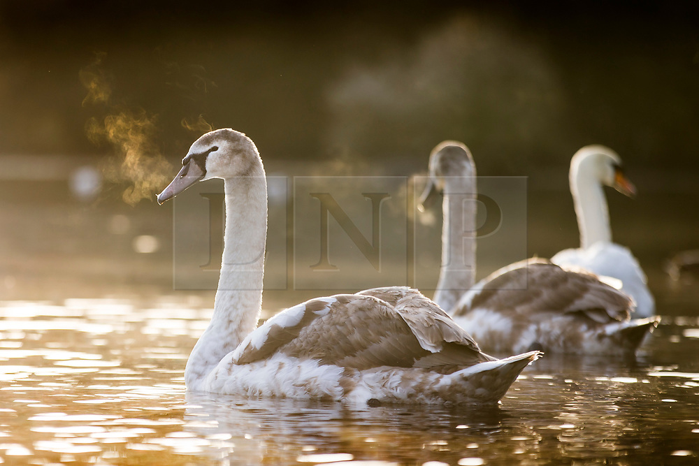 © Licensed to London News Pictures. 19/11/2019. Leeds UK. A Cygnets breath can be seen in the freezing temperatures at Golden Acre Park in Leeds at sunrise this morning in Yorkshire. Photo credit: Andrew McCaren/LNP