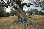 Olive tree in Sparta