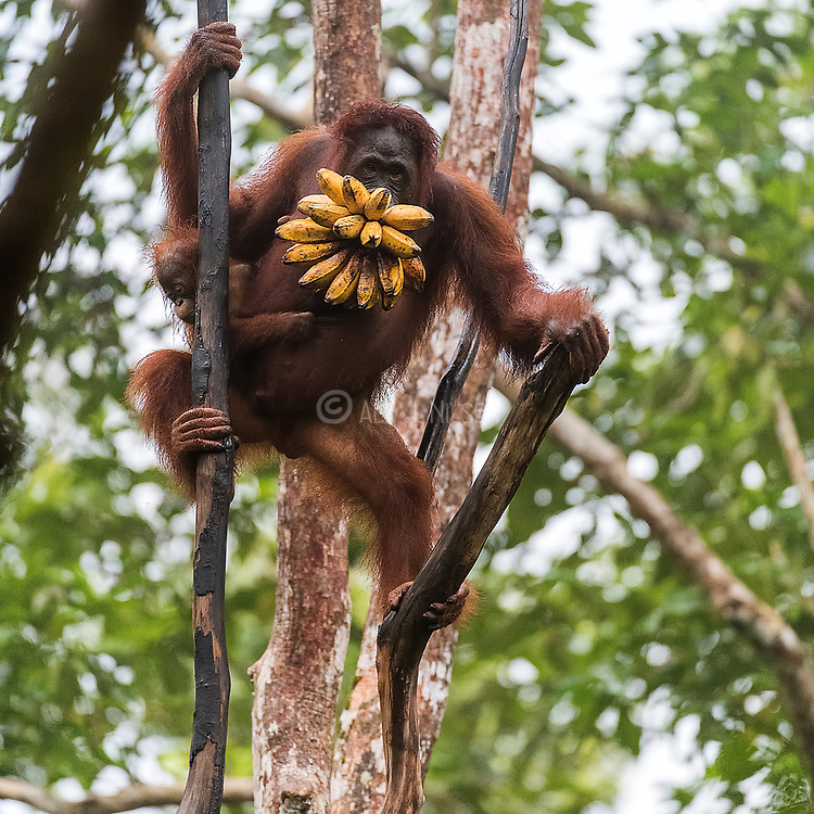 A female orangutan and her infant have nicked a bunch of banana. Tanjung Puting National Park, Kalimantan, Indonesia