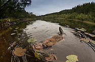 European beaver (Castor fiber) foraging at dusk, Knapdale Forest, Argyll, Scotland.