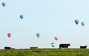 "Cows roam during the first California Balloon Invitational in California, Mo. The ""hare and hound"" navigation based race took Cindy Whitby through neighboring farms and pastures while she chased her husband's balloon in her truck."