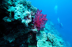 "Soft corals line ""The Wall"" at Mermaid Reef, at the Rowley Shoals."