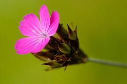 Karthuizer anjer, Dianthus carthusianorum