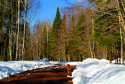 A golden retriever on a forest road in the Chequamegon National Forest.