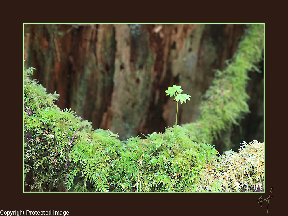 A decaying tree provides the backdrop for an emerging young plant in bed of ferns.