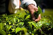 Makaibari Darjeeling tea, India