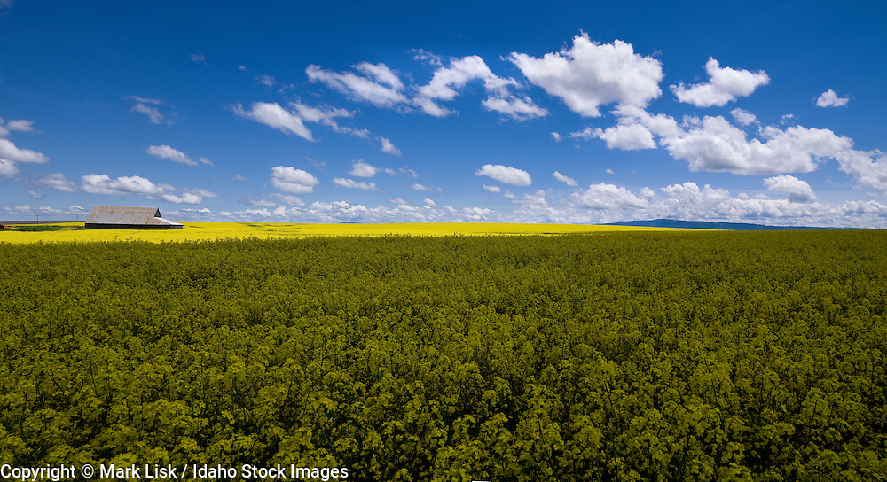 White clouds float low over the rolling farm land on Idaho's  palouse.