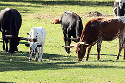 20 October 2007:  Texas Longhorn cattle feed in a shaded pasture