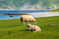 Norway, Lofoten. Uttakleiv on Vestvågøy have some of the best beaches in Lofoten.