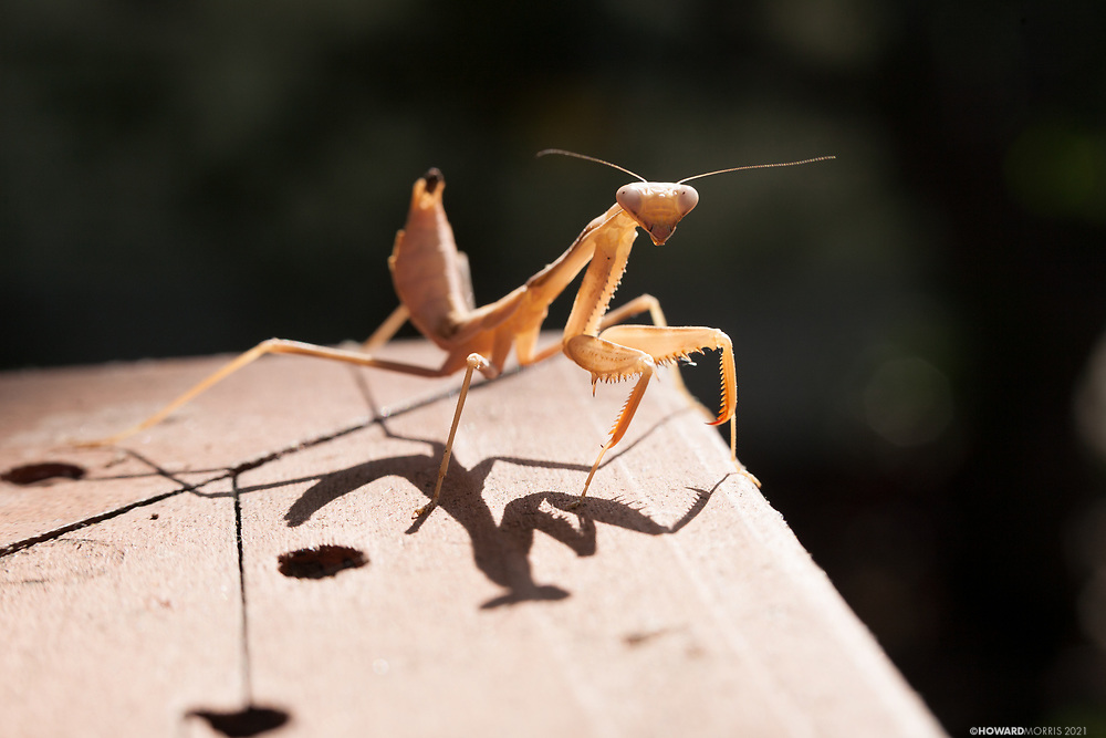 An older praying mantis angles sideways in a defensive posture. Altadena, California.