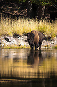 Bison Swimming across the Yellowstone.