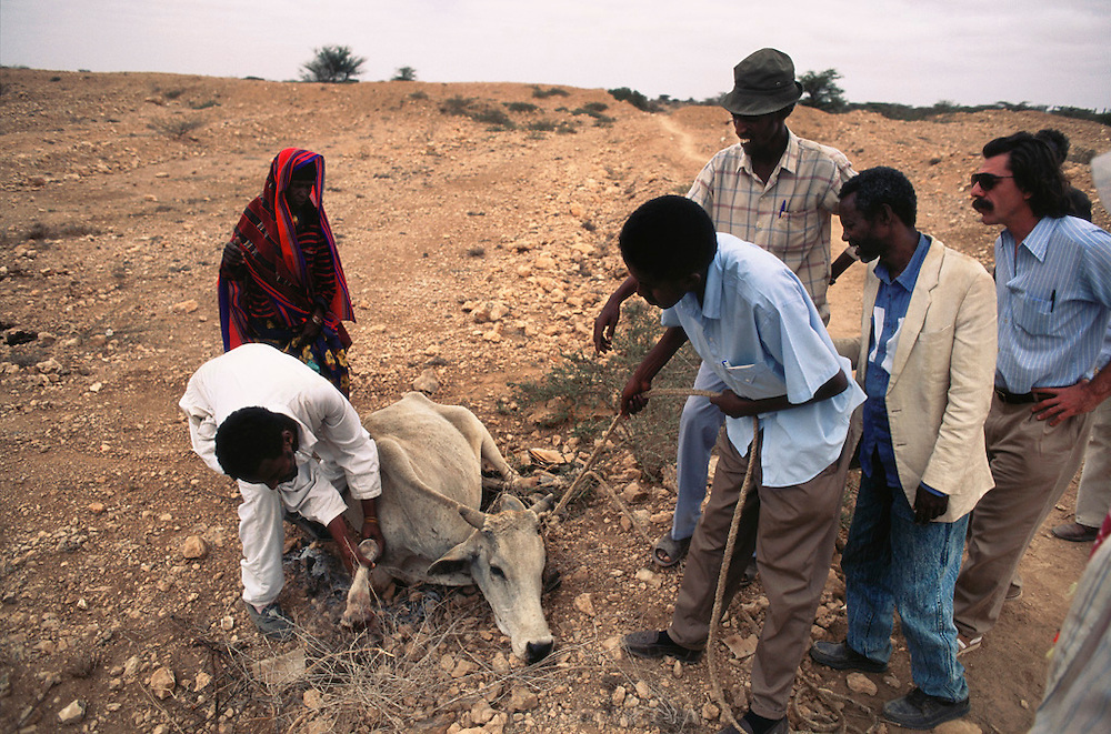 "A de-mining crew helping a woman whose cow had stepped on a landmine. The injured cow was dragged to a ""safe"" path, but had to be slaughtered.  Hargeisa, Somaliland. Somaliland is the breakaway republic in northern Somalia that declared independence in 1991 after 50,000 died in civil war."