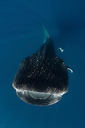whale shark, rhincodon typus, wide open mouth while feeding on plancton near surface at Isla Mujeres Mexico