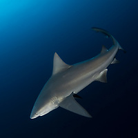 Bull shark (Carcharhinus leucas) On the Jupiter Deep Ledge.