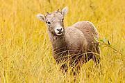 CANADA, Jasper National Park.Bighorn sheep (Ovis canadensis) lamb