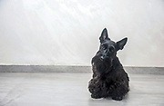 Scottish Terrier pedigree dog photographed indoors