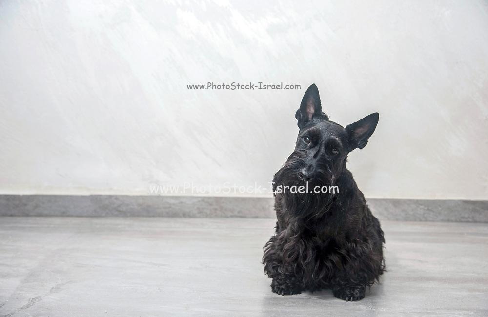 Scottish Terrier pedigree dog photographed indoors