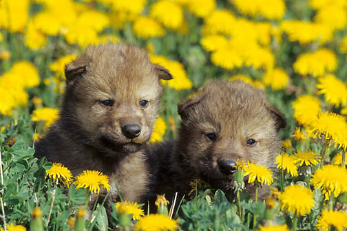 Gray Wolf, (Canis lupus) Young pups in field of dandelions. Montana.  Captive Animal.