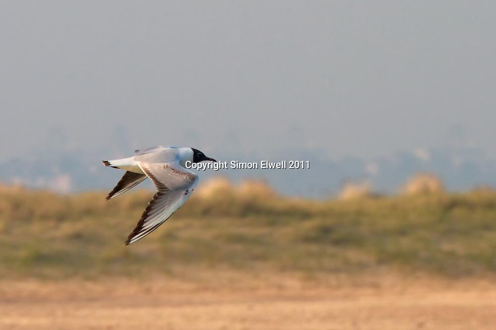 Black headed gull flies over sand dunes