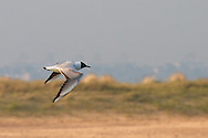 Black headed gull flies over sand dunes