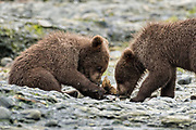 Brown bear spring cubs eat a piece of salmon at the McNeil River State Game Sanctuary on the Kenai Peninsula, Alaska. The remote site is accessed only with a special permit and is the world's largest seasonal population of brown bears in their natural environment.
