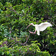 White Ibis landing in treetop to be with chick
