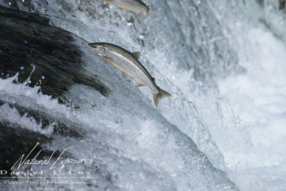 Chum salmon (Oncorhynchus keta) jumping falls at Brooks Falls on the Brooks River, Alaska.