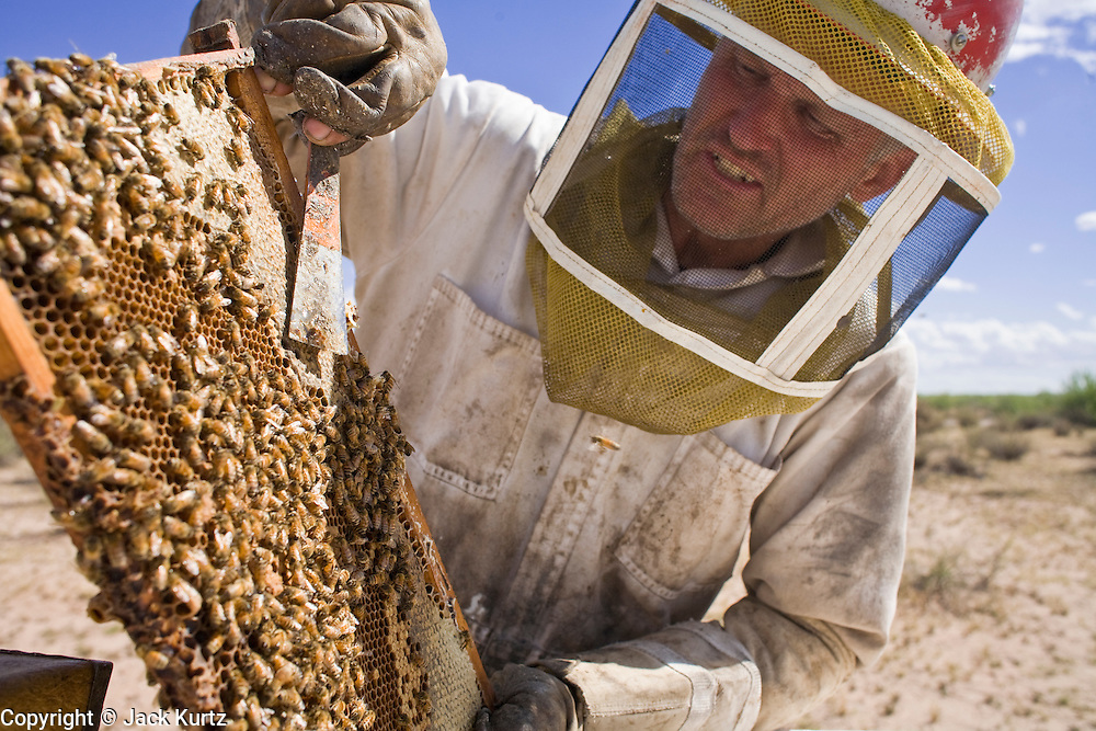 "23 APRIL 2007 -- FT. MCDOWELL, AZ: DENNIS ARP, an Arizona beekeeper, checks and tends his hives on the Ft. McDowell Indian Reservation about 50 miles from Phoenix. Arp has been a commercial beekeeper in Flagstaff, AZ, for more than 20 years. He said he lost almost 50 percent of his hives in the last year for no apparent reason. The syndrome has been termed ""Colony Collapse Disorder"" and was first reported on the East Coast of the US last fall. Researchers do not know what is causing the disorder. Stress, parasites, disease, pesticides and a lack of genetic diversity are all being investigated. German researchers are also studying the possibility that radiation from cellphones is scrambling the bees' internal navigation systems. Arp said CCD has cost him about $60,000 (US) between replacement bees and contracts lost because so many of his hives have disappeared.  Photo by Jack Kurtz"