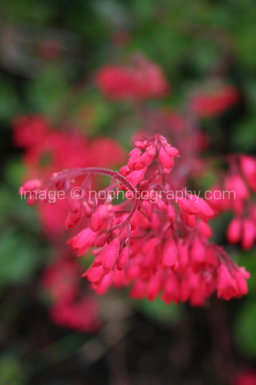 red/pink flowers, blurred