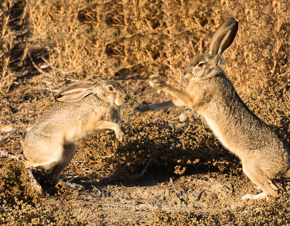 A male and female blacktail jackrabbit engage in a courtship ritual in which the male approaches the female and she wards him off with a leaping and boxing display.
