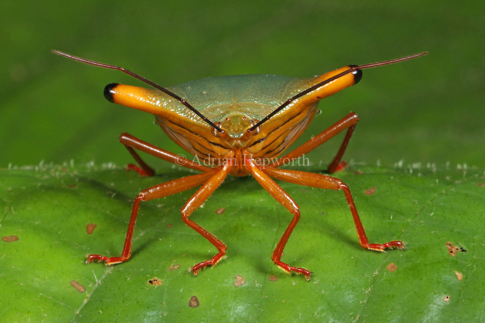 Stink Bug (Edessa sp.). Rainforest, La Selva Biological Station, Costa Rica. <br /> <br /> For pricing click on ADD TO CART (above). We accept payments via PayPal.