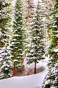 USA, Idaho, Valley County, Tamarack Resort, Spruce Trees