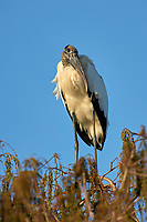 Arthur R Marshall National Wildlife Reserve Loxahatchee Florida USA Wood Stork Mycteria americana perched in tree