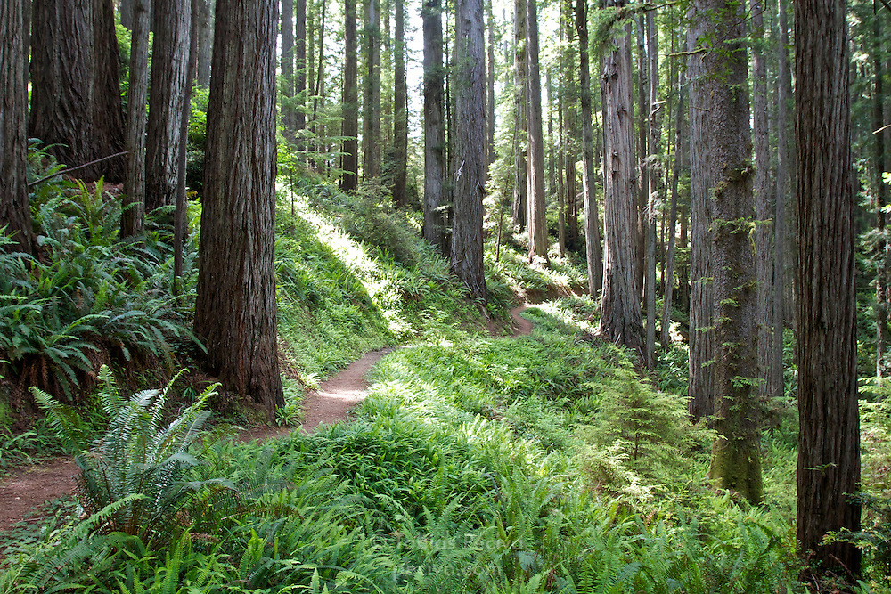 Hiking trail winding between redwoods in Prairie Creek Redwoods State Park, California.