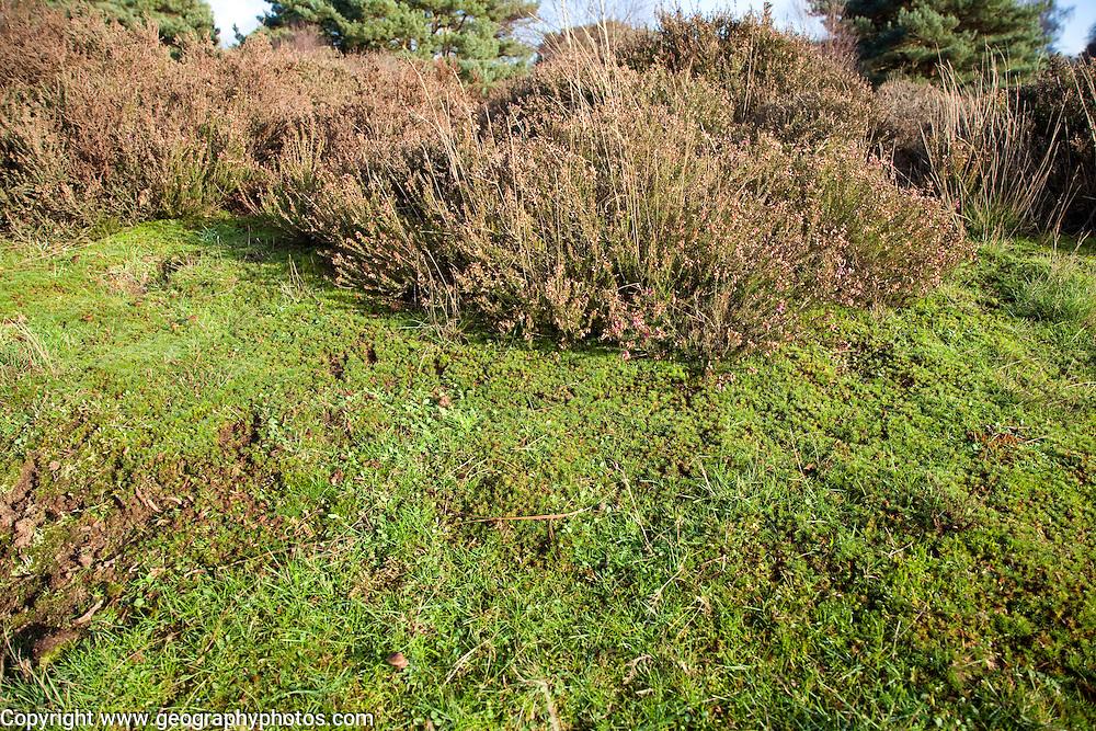 Suffolk Sandlings vegetation in autumn, details of heather, mosses, grass