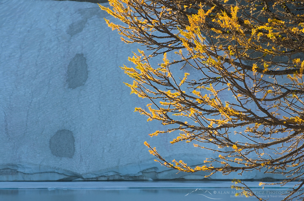 Subalpine Larch (Larix lyallii) at Wing Lake, North Cascades Washington