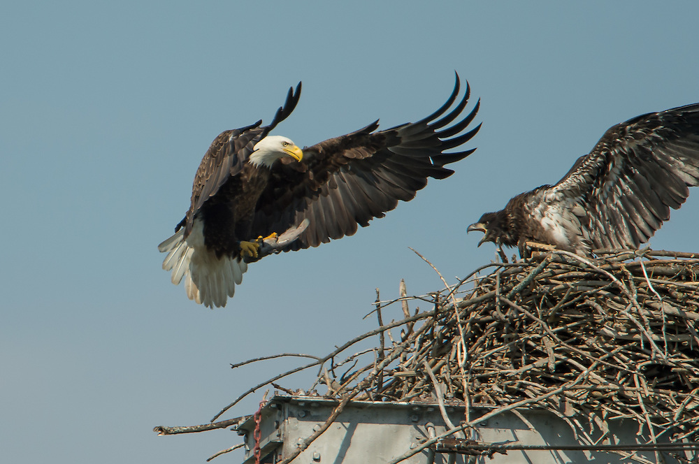 Food Service.  The parent is quick to deliver fish and leave.  The eaglets are aggressive to take the offering.
